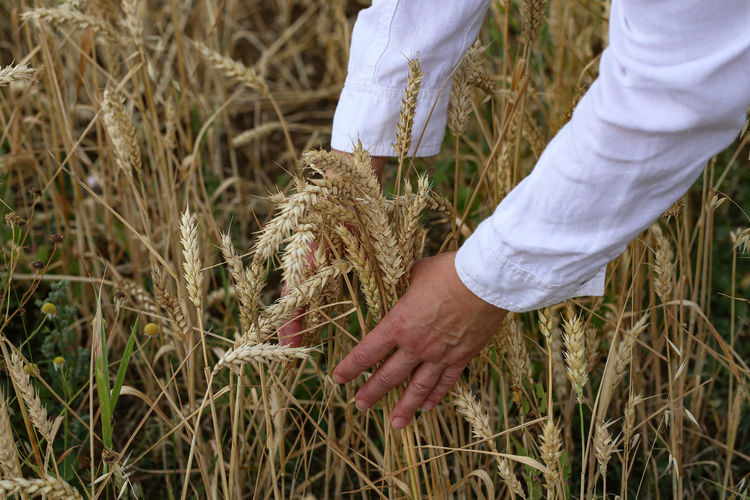 Person of wheat growing on field