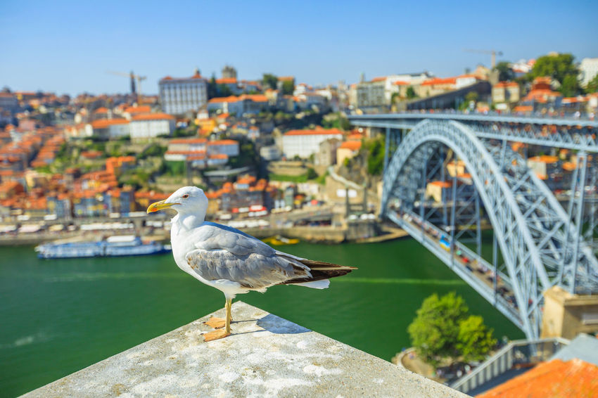 Seagull looking at the city of Porto skyline. Freedom and travel concept. Aerial view of iconic Dom Luis I Bridge on Douro River on the horizon with blurred background. Portugal Porto Tourism City Aerial View Cloudscape Cityscape Landscape Panorama Europe People Church Church Architecture Architecture Town Porto Portugal 🇵🇹 Monment Oporto City Oporto Downtown Oporto Streets Seagull Bridge River Sea Bird One Animal Animals In The Wild Animal Themes Built Structure Animal Vertebrate Animal Wildlife Building Exterior Focus On Foreground Water Nature Day Perching Bridge - Man Made Structure Connection No People Outdoors