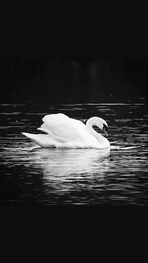 Monochrome Photography swan lake. Amatuerphotography Swan Lake Swimming Tranquility Canon Canonrebelsl1 Canonphotography CanonRebel Nature EyeEm
