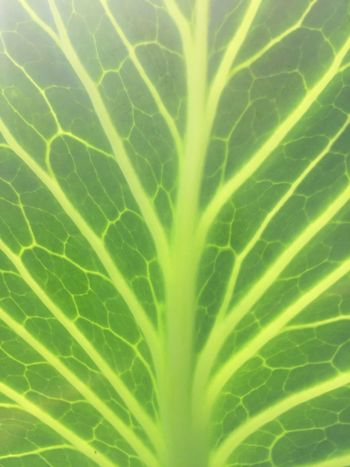 Leaf Green Color Backgrounds Freshness Close-up No People Full Frame Nature Day Outdoors Fragility Cabbage