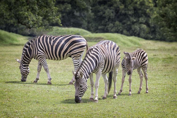 Zebras Grazing Outdoors