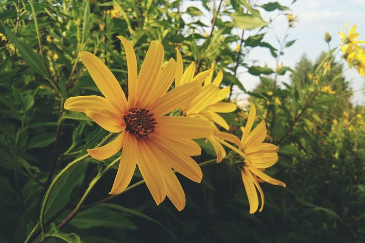 Flower Petal Flower Head Fragility Plant Nature Yellow Growth Beauty In Nature Pollen Freshness Focus On Foreground No People Day Outdoors Close-up Black-eyed Susan