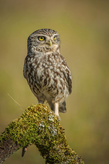 Little Owl Owl Athene Noctua One Animal Animal Themes Animal Bird Animals In The Wild Animal Wildlife Vertebrate Bird Of Prey Perching Focus On Foreground Nature No People Day Close-up Tree Plant Outdoors