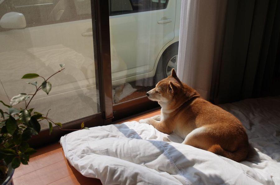 ひなたぼっこ 杏 しばいぬ Shibainu Dog