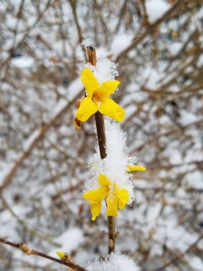 Yellow Flower Nature Focus On Foreground Fragility No People Petal Day Growth Beauty In Nature Springtime Outdoors Close-up Freshness Tree Branch Low Angle View Plant Flower Head Forsythia Forsythia Flowers Snow Covered Snow