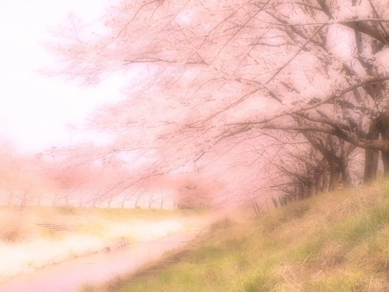 一緒に散歩しよ。手を繋いで。 Relaxing EyeEm Nature Lover Spring Colours 春 Spring Bokeheffect Japan Airy Blossom Pink 桜 Sakura Cherry Blossoms Colors Colorful Spring Time Hazy  Airy Flowers Dreamfantasy Hazy Days Cloudy Takumar
