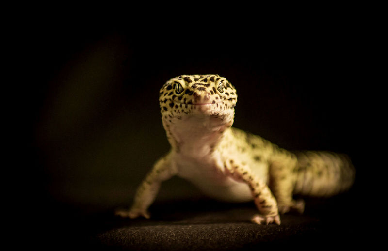 LIZZARDS Reptile Wildlife & Nature Animal Themes Animal Wildlife Animals In The Wild Black Background Close-up Day Indoors  Lizzard Lizzard Photography Nature No People One Animal Reptile Reptile Photograhy Reptile Portrait Reptiles