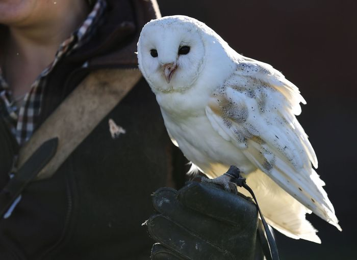 Midsection of person with white owl