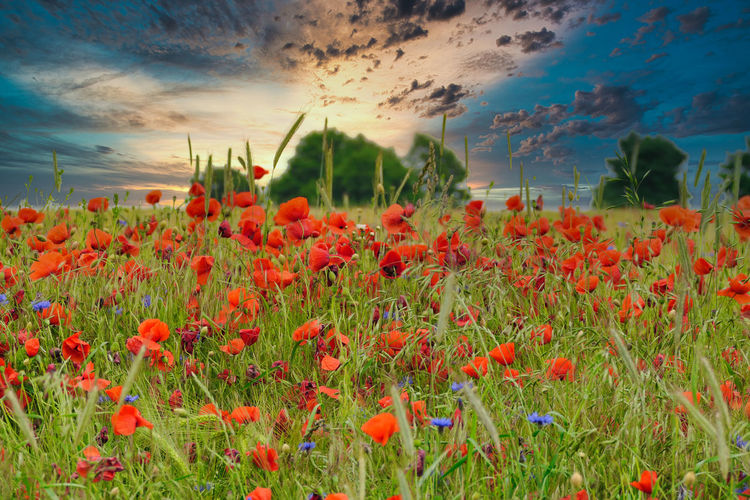 Red poppies on field against sky during sunset