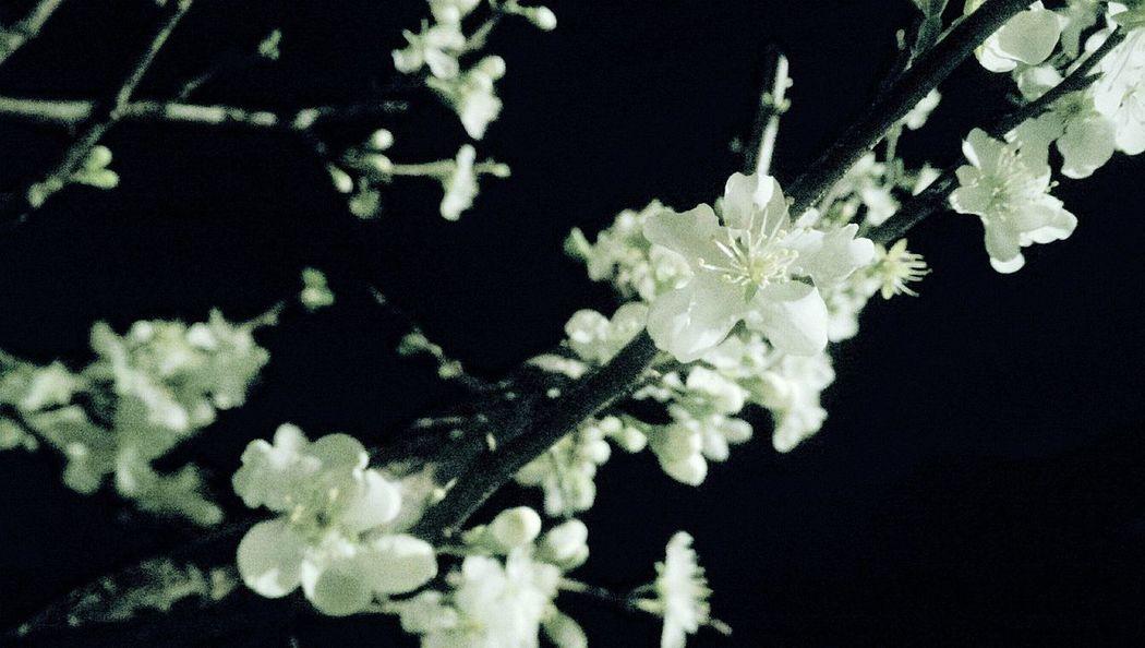 White flowers in the night.. Blackandwhite Black & White Flowers White Night Nature Naturalflower First Eyeem Photo Izmir Turkey Turkey