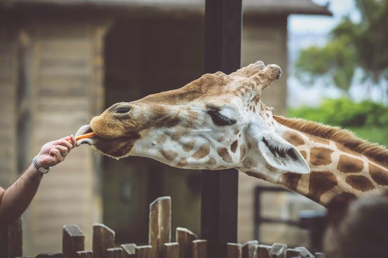 Giraffe Animal Themes One Animal Focus On Foreground Human Hand Animals In The Wild Real People Outdoors Animal Wildlife Mammal Feeding  Close-up
