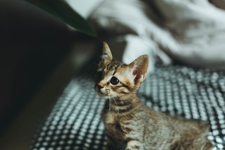 Cute kitten playing in bedroom background.