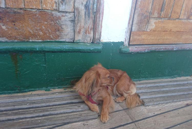Dog on wooden door