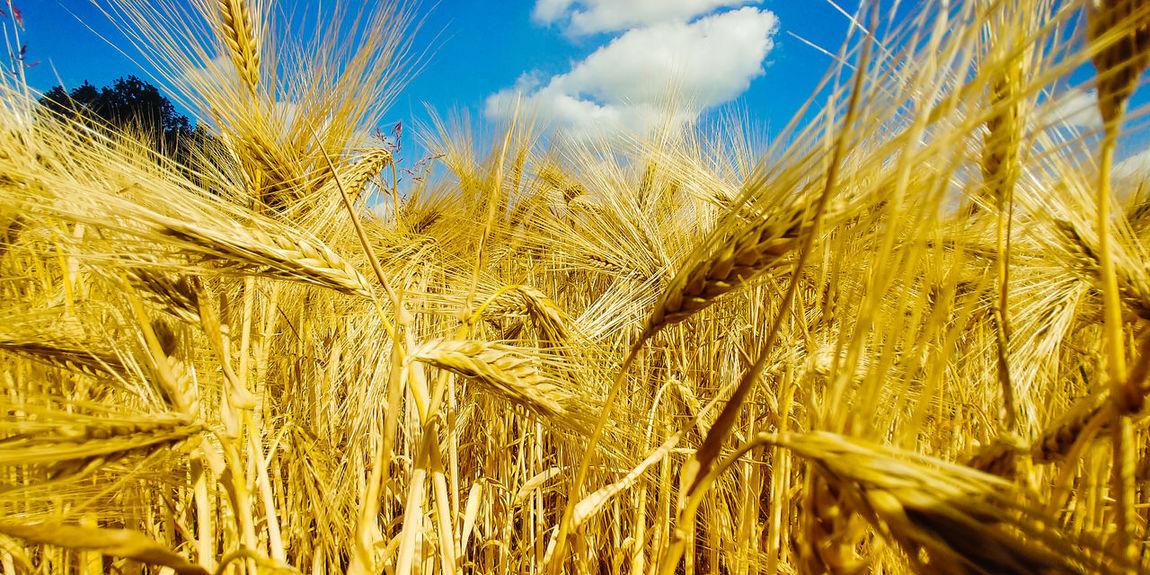 summer field LG V30 Fields And Sky Fields Photography Summertime Wheat Field