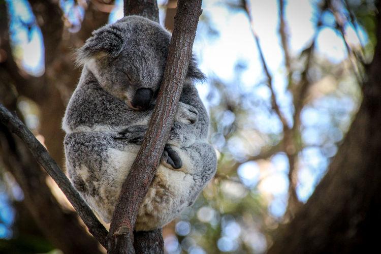 Low angle view of koala sleeping on tree