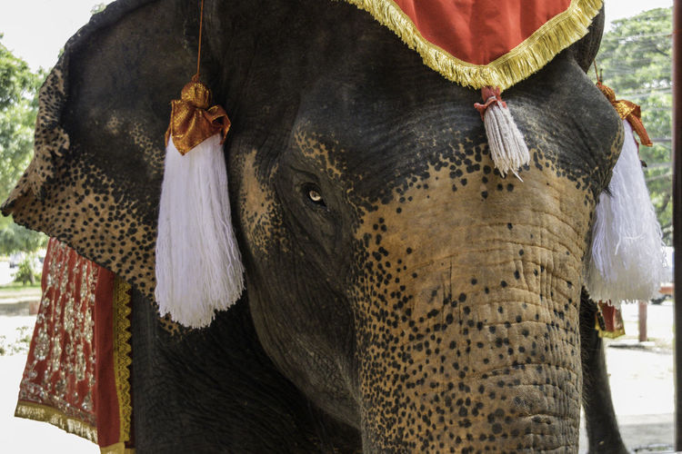 Portrait of a destitute and sad domesticated elephant. Crimes Against Animals Nature Animal Portrait Animal Themes Close-up Day Domestic Animals Elephant Majestic Mammal No People One Animal Outdoors Royal Dress Solumn Wildlife