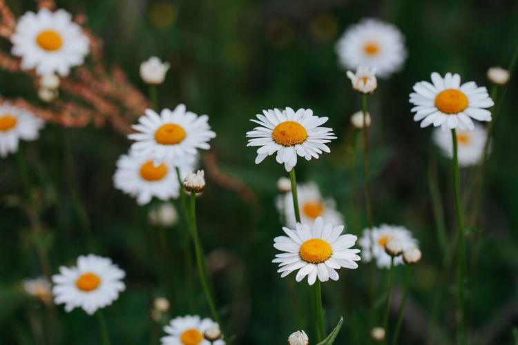 Daisies Flowering Plant Flower Plant Freshness Fragility Vulnerability  Growth Beauty In Nature Petal Flower Head Close-up Daisy White Color Pollen Macro Macro Photography Spring