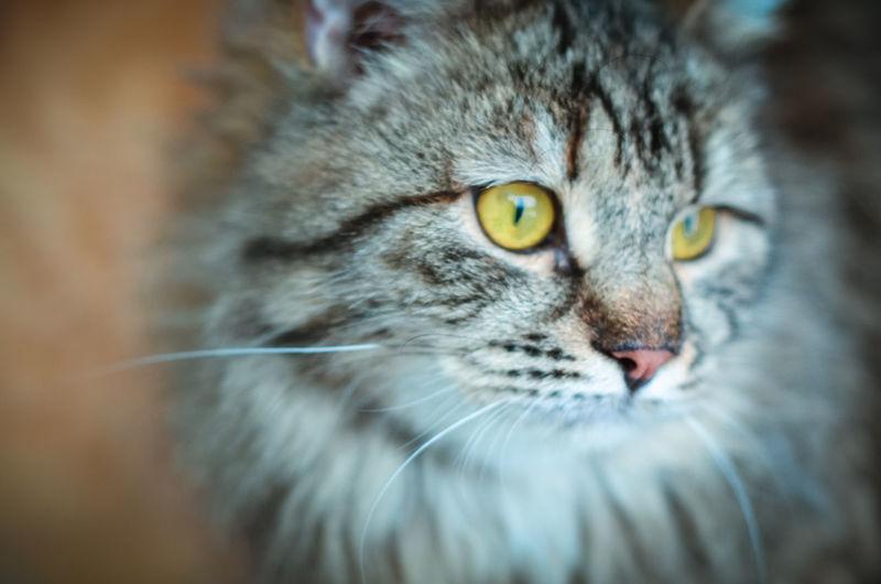 Cat One Animal Mammal Domestic Feline Pets Domestic Animals Whisker No People Homeless Cats Homeless Big Cat Nikon Nikon5100D 50mm 50mm 1.4 Yellow Eyes Yellow Eyed Cat Striped Caterpillar Tiger Cat's Eyes Looking At Camera