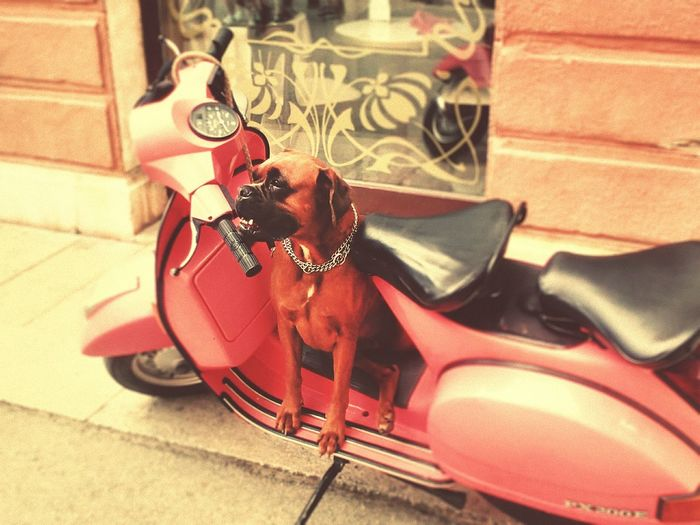 Scooter Dog Dog On Scooter Doberman  Pink Scooter Pink Vintage No People Relaxed Dog