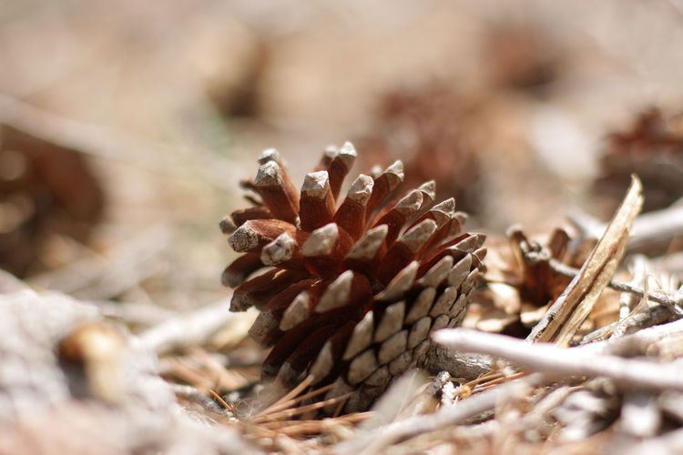 Beauty In Nature Brown Close-up Coniferous Tree Day Dead Plant Dried Dried Plant Dry Field Flower Focus On Foreground Fragility Growth Land Nature No People Outdoors Pine Cone Pine Tree Pine Wood Plant Selective Focus Vulnerability  Wilted Plant