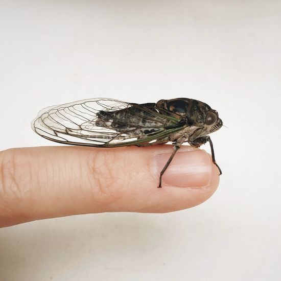 Cropped image of person holding cicada on finger against white background