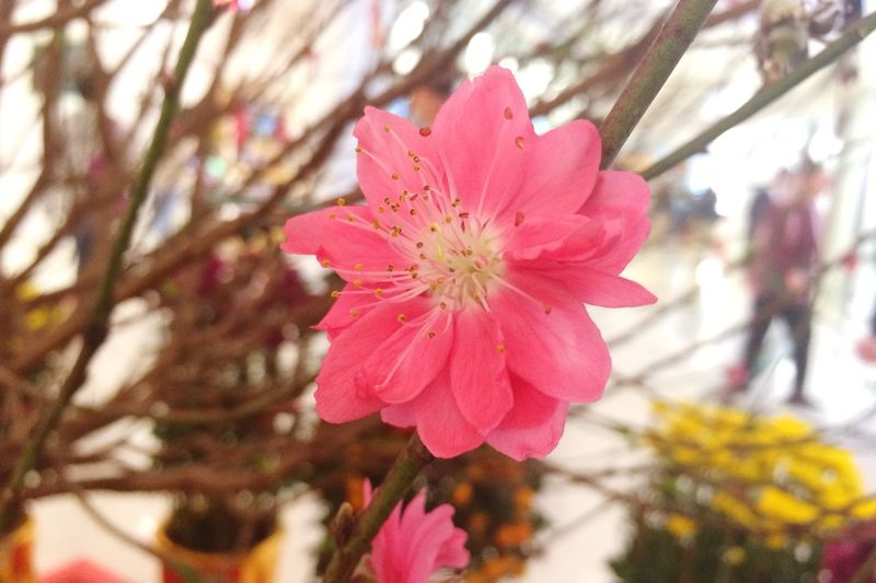 Flower Petal Pink Color Growth Fragility Nature Beauty In Nature Close-up Flower Head No People Blooming Chinese New Year Decor Decoration Pink Flower Freshness Day Tree