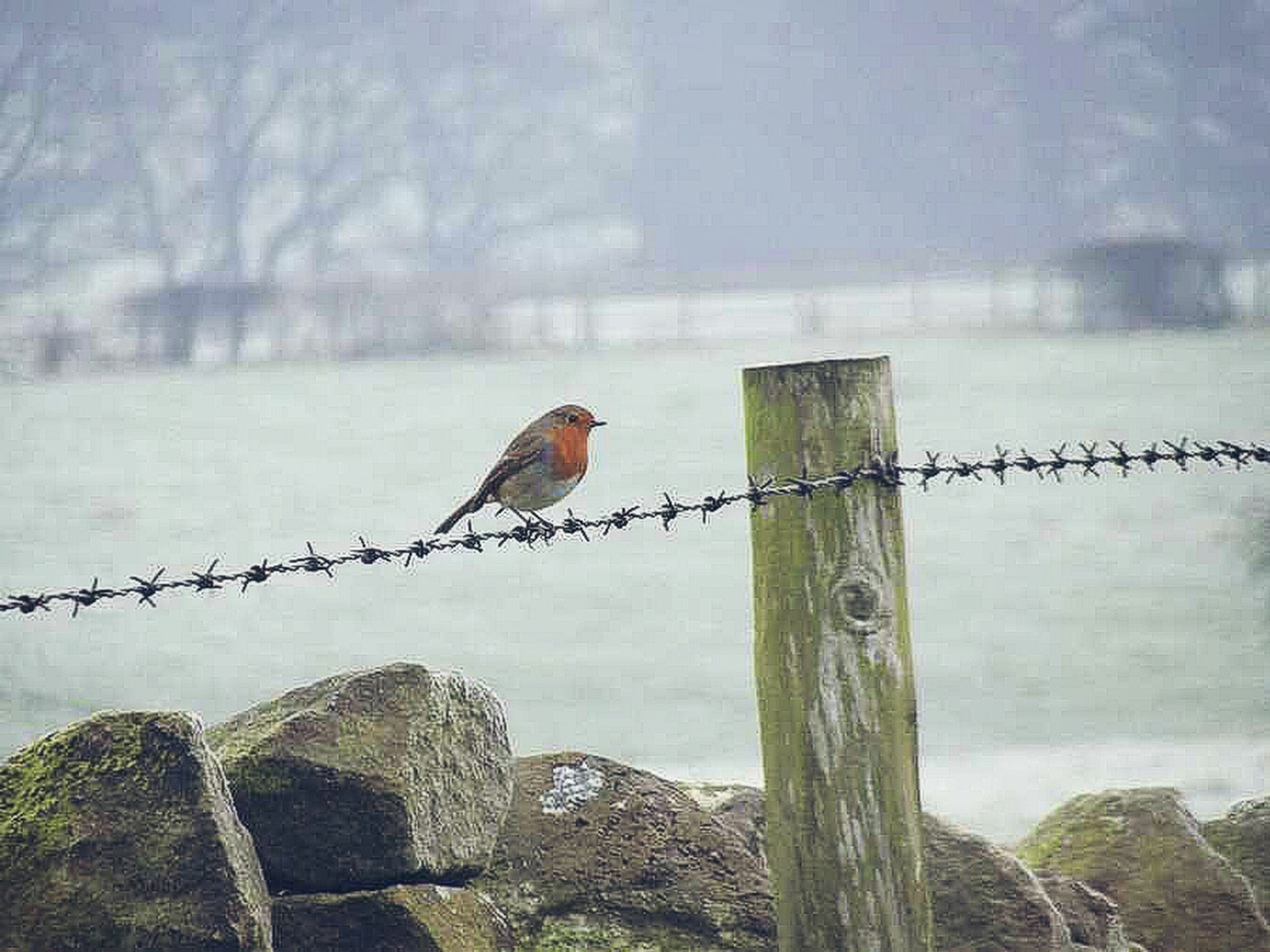 bird, animal themes, animals in the wild, perching, focus on foreground, fence, wildlife, one animal, wood - material, nature, protection, safety, barbed wire, wooden post, tranquility, outdoors, day, close-up, railing, branch