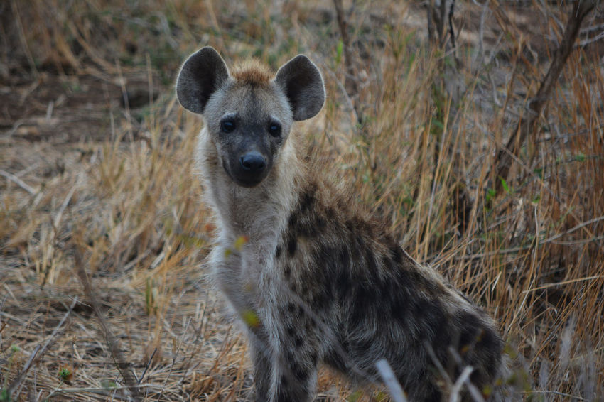 African Photography African Safari Hyena Hyena Dog Hyenas Safari Animals Wildlife & Nature Wildlife Photography
