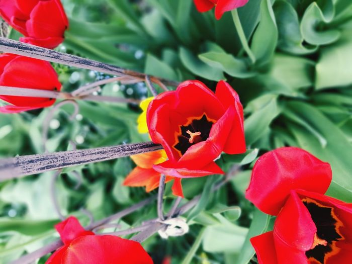 Red Flowers Flower Collection Tulip Tulpen Flower Head Flower Poppy Red Leaf Petal Close-up Plant