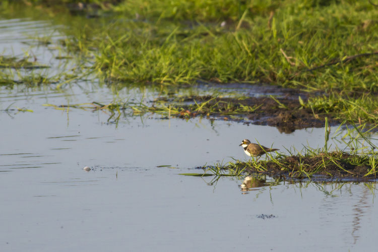 A little ringed plover is searching for fodder in beeder bruch Charadrius Dubius, Little Ringed Plover, Animal Themes Animal Wildlife Animals In The Wild Bird Bird Life, Birsds World, Day Growth Lake Nature No People Outdoors Water Water, Pond, Young Bird