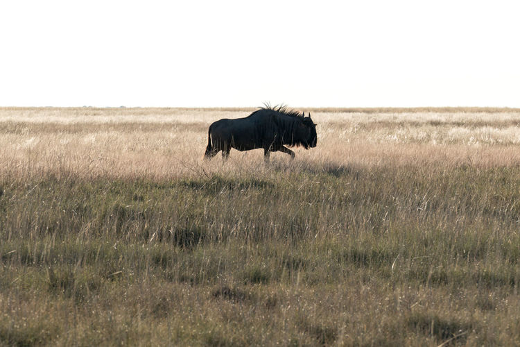 Silhouette of blue wildebeest walking on field
