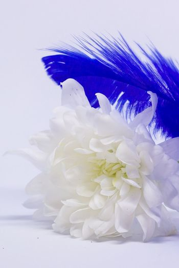 Light As A Feather Flower Petal Studio Shot White Background White Color Flower Head No People Close-up Fragility Beauty In Nature Nature Freshness Indoors  Day Feather