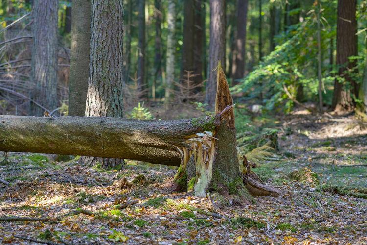 Fallen tree in