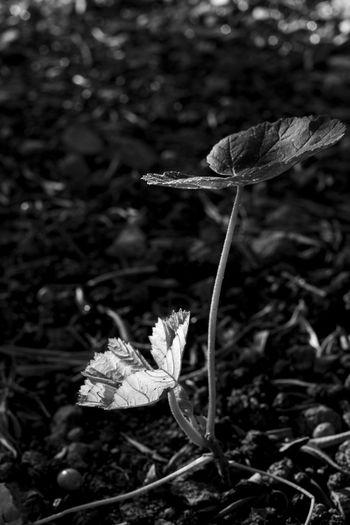 Future. Leaf Nature Plant Day Close-up Blackandwhite Black & White Blackandwhite Photography Fulles Avellaner Hazelnut Leaves