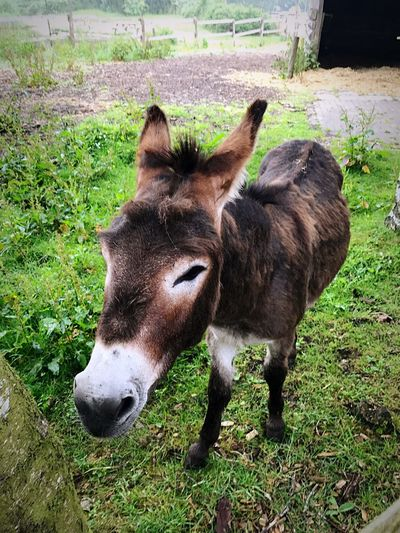 Donkey Domestic Animals Donkey Animal Themes One Animal Mammal Livestock Grass No People Field Day Outdoors Standing Green Color Nature Close-up