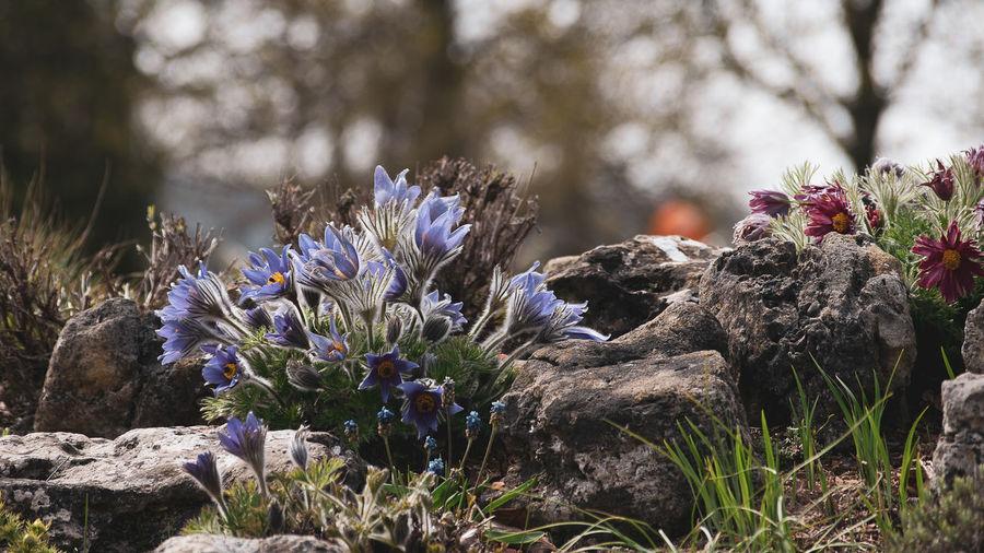 Close-up of purple flowering plants on rocks