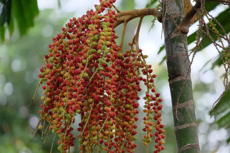 ripe Green Red Fruit Palm Fruit Palm Tree Tree Greenhouse Plant Plant Life Palm Leaf Fruit Tree Palm Frond