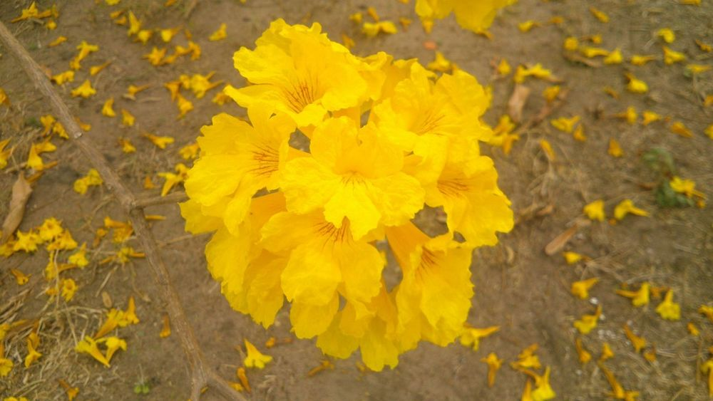 Araguaney árbol Venezuela Hermosas Flores Amarillas Flowers Beautiful Yellow Flower Yellow