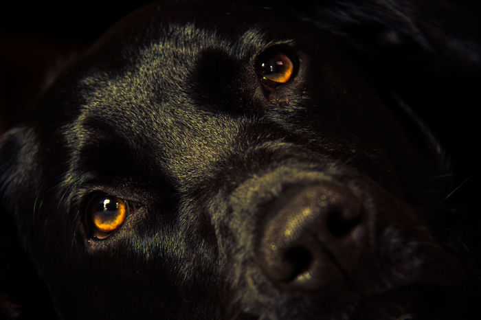 Lazy Dog - he's not moving... not for nobody ;-) Close up portrait of black labrador face Labrador Labrador Retriever Pet Photography  Pet Portraits Animal Themes Black Labrador Black Color Close-up Dark Dog Domestic Animals Eyes Face Indoors  Mammal Night No People One Animal Pets Portrait
