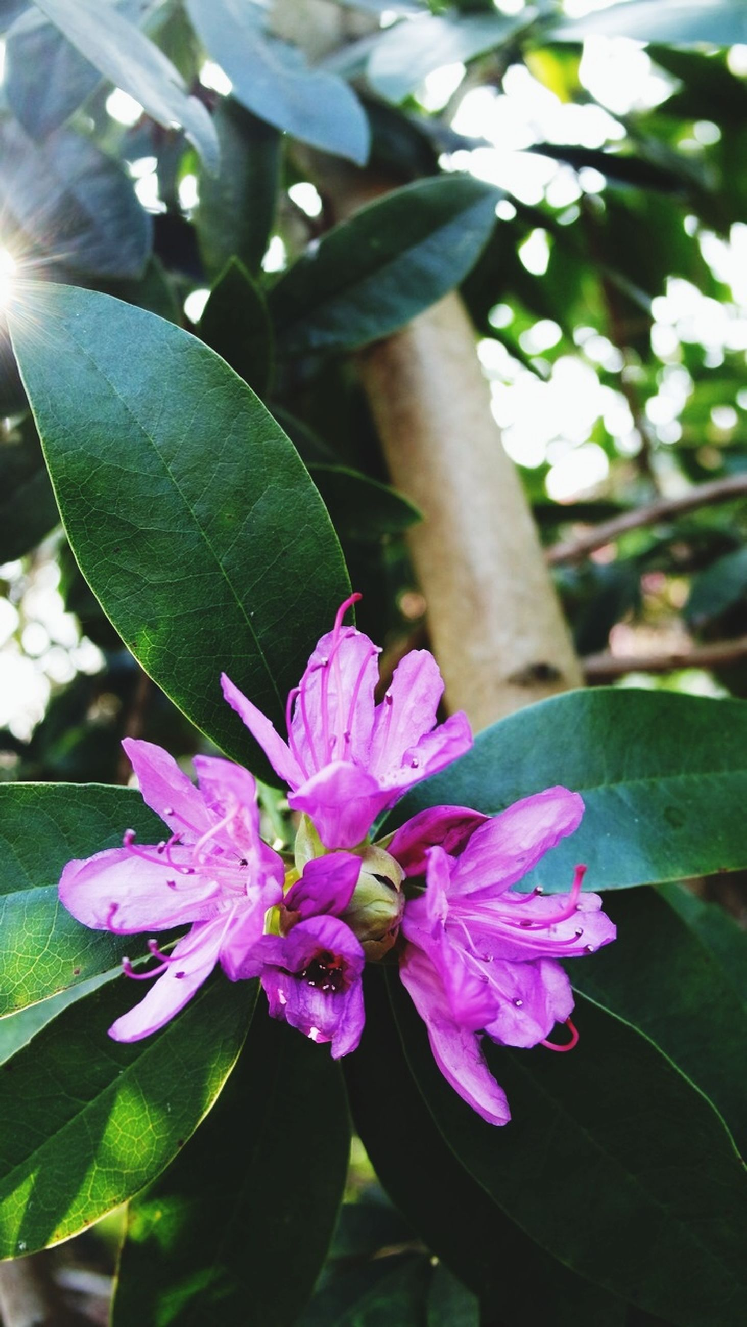 plant, flowering plant, flower, growth, freshness, beauty in nature, vulnerability, fragility, plant part, leaf, close-up, pink color, petal, nature, inflorescence, flower head, day, purple, focus on foreground, no people, outdoors