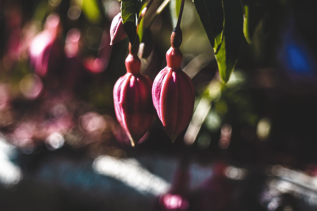 growth, freshness, nature, focus on foreground, close-up, no people, food and drink, beauty in nature, day, hanging, food, healthy eating, outdoors, fragility, flower