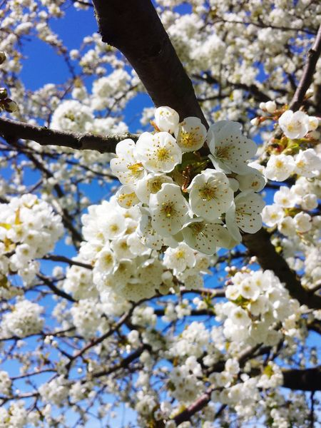 Apple Tree Apple - Fruit Spring Colour Of Life Beautiful Nature 2015  Blue Sky Hanging Out