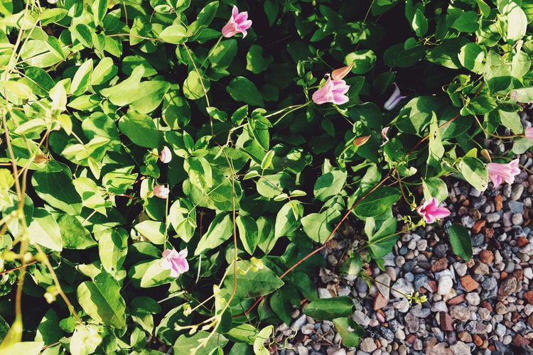 Nature Fujiflm Golden Hour Sunset Flower Leaf High Angle View Close-up Plant Green Color Leaves Flower Head Petal Pink Plant Life In Bloom