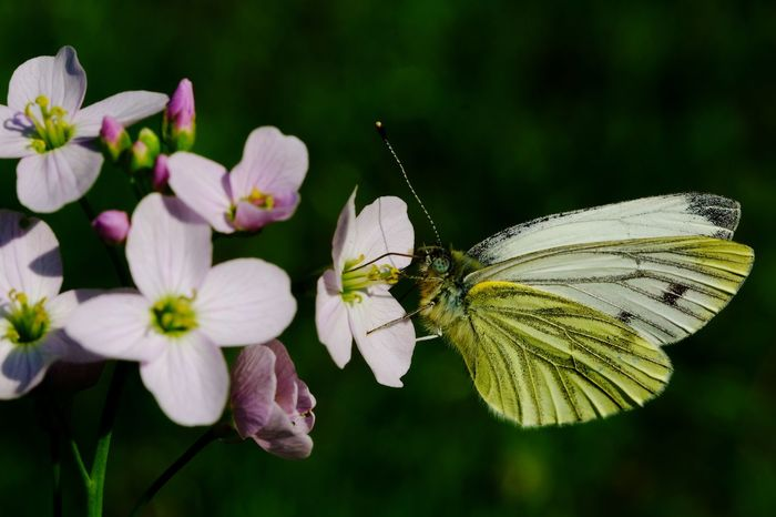 Butterfly white&yellow Flower Head Flowers, Nature And Beauty Flying Flowers Details Of Nature Beauty In Nature Beatiful Nature Flower Perching Butterfly - Insect Leaf Summer Full Length Conformity Insect Royal Person Macro Animal Wing Butterfly Animal Markings Animal Antenna Pollination