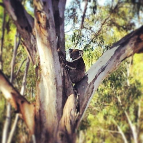 We had a little friend come and join us while eating dinner! Koala Socute Gumtreehome
