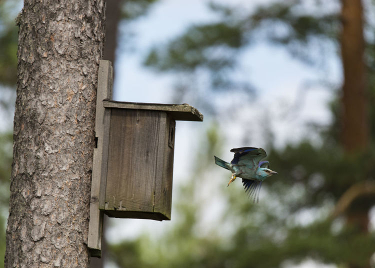 Low angle view of roller flying by birdhouse on tree
