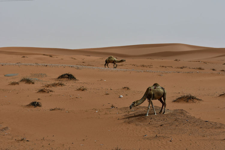 Camels On Desert Against Clear Sky