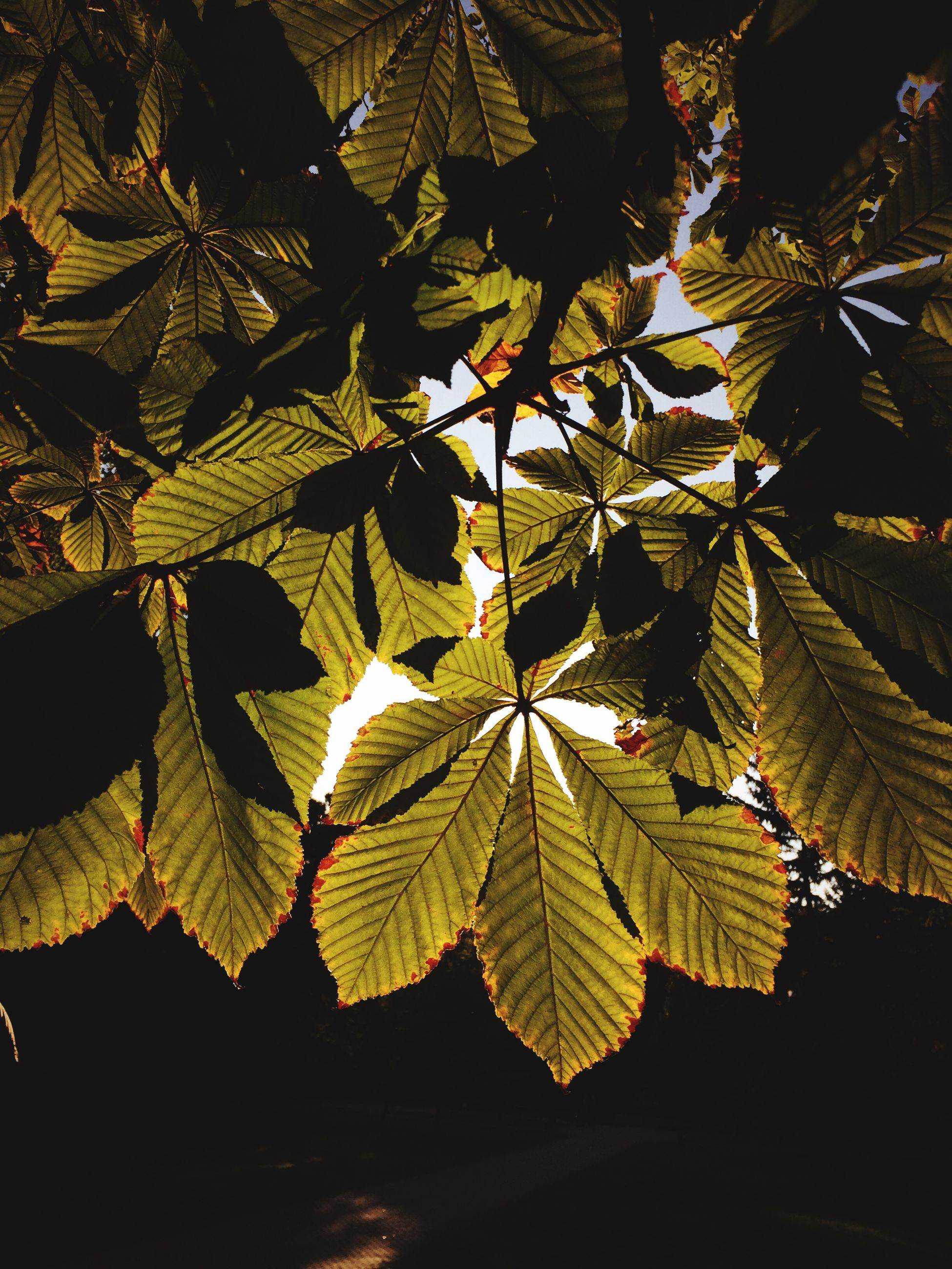 leaf, growth, leaf vein, nature, leaves, branch, tree, close-up, green color, plant, beauty in nature, sunlight, tranquility, natural pattern, no people, low angle view, outdoors, focus on foreground, day, silhouette