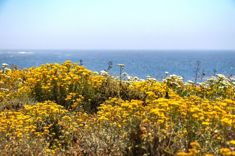 nice aroma Flower Sea Water Yellow Beach Rural Scene Idyllic Sky Horizon Over Water Landscape Wildflower Seascape In Bloom Coast Coastal Feature Tide Rocky Coastline Cliff Blooming Coastline Plant Life Botany Dandelion Dandelion Seed Flower Head Petal Pollen Uncultivated Blossom Stamen