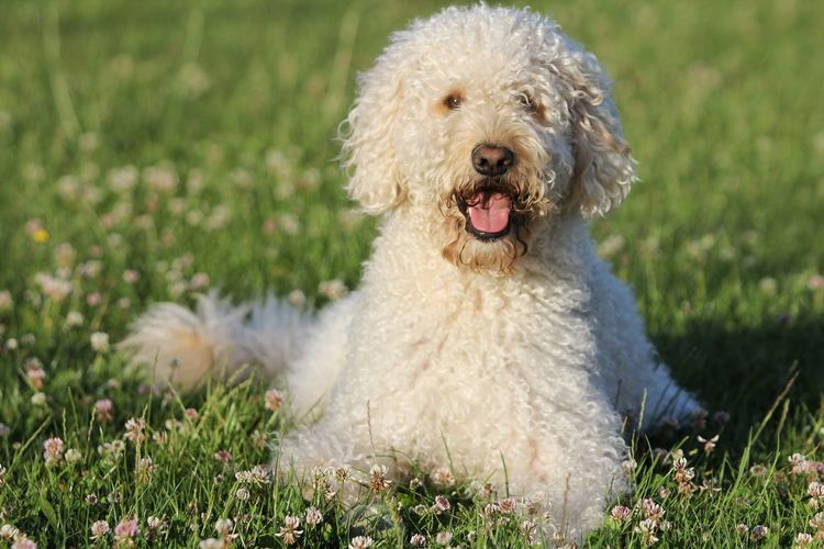 Close-up of labradoodle on field